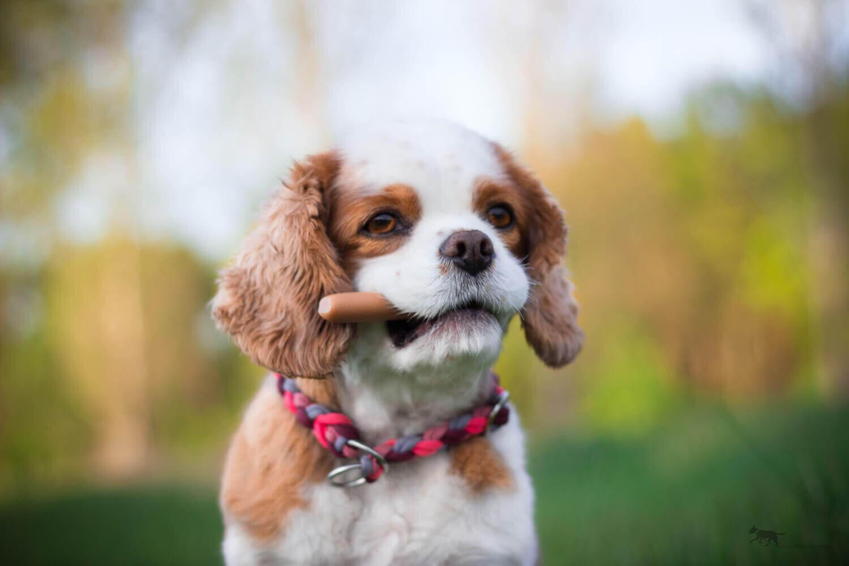 Zahnwechsel Hund Hundezahnpflege