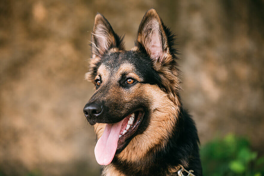 Zahnsteinentfernung-Hund-Ultraschall