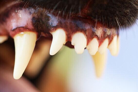 zahnstein entfernen beim alten hund