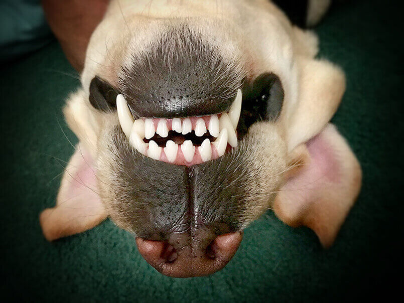paradontitis hund  Hundezahnpflege