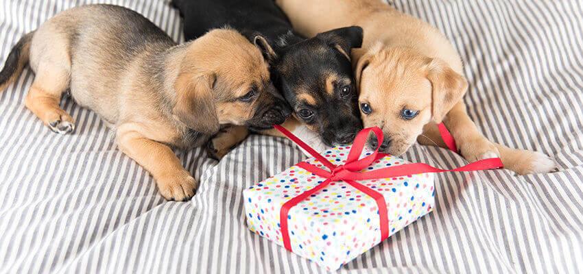 Geschenk für Welpen Hundezahnpflege