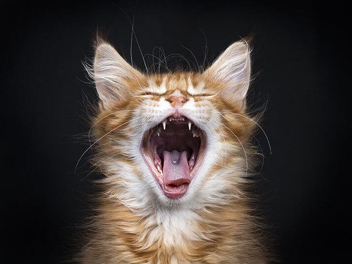 Gingivitis Katze