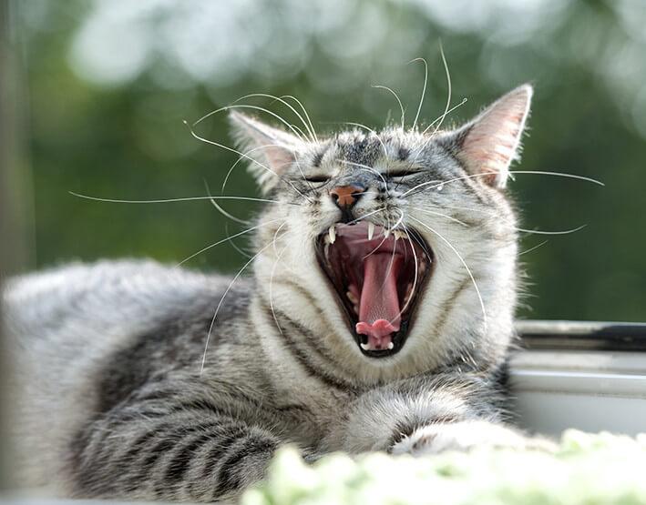 Katzen Zähne
