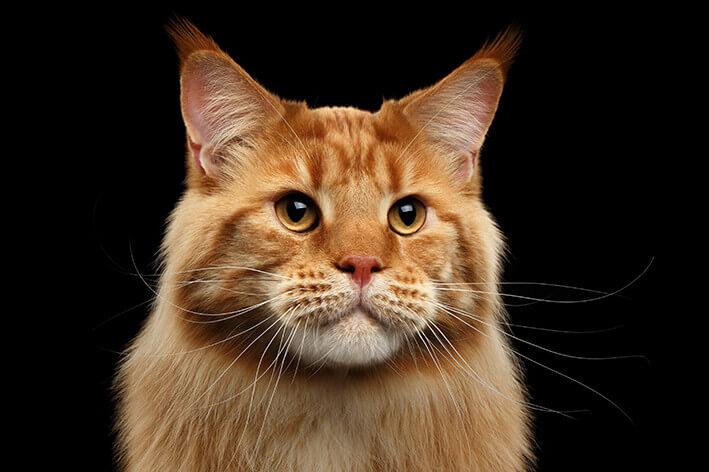 Zahnbürste für Katzen