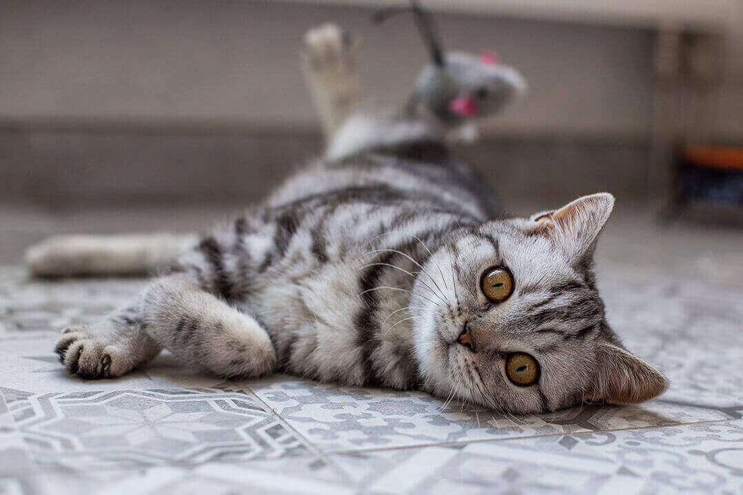 Zahnfleischentzündung Katze