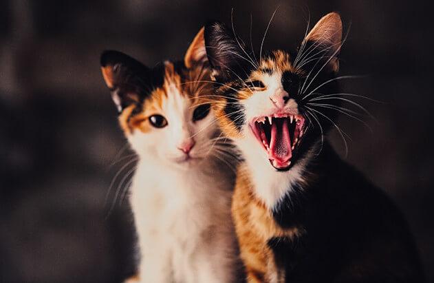 Zahnfleischentzündung Katze Hausmittel